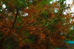 Rotala Macrandra smalt blad, växt, bakgrund färg royaltyfri bild