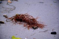Rotalge auf Sandy Beach Lizenzfreie Stockbilder