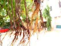 Rotar av Banyanträd royaltyfria bilder