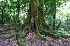 Rotar av det gamla trädet Arkivbild