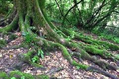 Rotar av det gamla trädet Arkivfoton