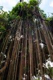 Rotar av en banyan Arkivbilder