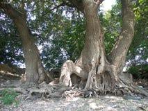 Rotar av en gammal tree Royaltyfria Bilder
