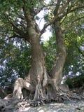 Rotar av en gammal tree Royaltyfria Foton