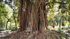 Rotar av en stor tree Arkivfoton