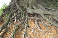 Rotar av en trädblotta längs bred flodmynningbanken Royaltyfria Foton