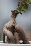 Rotar av ett bonsaiträd Arkivfoto