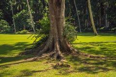 Rotar av ett gammalt träd, bali Resa destinationen av den Bali ön, kultur, konstobjekt, av indonesiskt folk arkivfoto