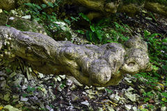 Rotar av ett stort gammalt träd Arkivbilder