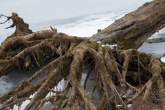 Rotar av ett stort gammalt träd som en ruskig hand med fingrar Arkivbild