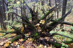 Rotar av ett stupat träd Fotografering för Bildbyråer