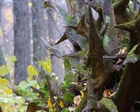 Rotar av ett stupat träd Arkivbild