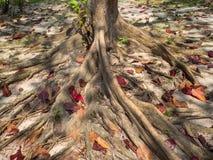 Rotar av ett tropiskt tr?d royaltyfria bilder