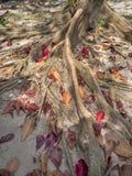 Rotar av ett tropiskt tr?d royaltyfri bild