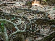 Rotar av ett tropiskt tr?d fotografering för bildbyråer