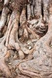 Rotar av stor tree Arkivfoto