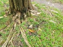 Rotar av stort träd med grönt gräs på jordningen i skogen på Thailand Royaltyfri Fotografi