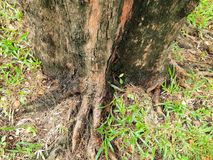 Rotar av stort träd med grönt gräs på jordningen i skogen på Thailand Arkivfoto