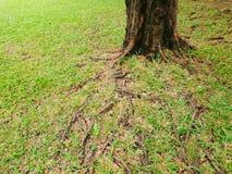 Rotar av stort träd med grönt gräs på jordningen i skogen på Thailand Arkivbild