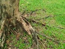 Rotar av stort träd med grönt gräs på jordningen i skogen på Thailand Royaltyfri Bild