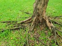 Rotar av stort träd med grönt gräs på jordningen i skogen på Thailand Royaltyfria Foton