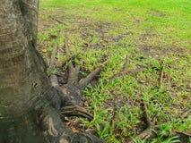 Rotar av stort träd med grönt gräs på jordningen i skogen på Thailand Fotografering för Bildbyråer