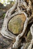 Rotar av Sycomore flätade ihop runt om en stenblock Royaltyfria Bilder