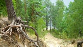 Rotar av träd i skog stock video