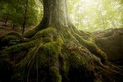 Rotar av träd med grön mossa och solen som skiner i en skog i sommar Arkivfoto