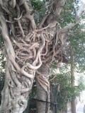 Rotar av två banyanträd fotografering för bildbyråer