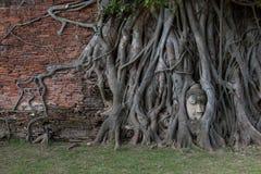 Rotar den Head statyn för Buddha som in fångas, av det Bodhi trädet på Wat Mahathat, historiska Ayutthaya parkerar, Thailand Royaltyfri Fotografi