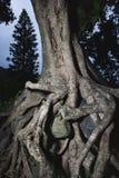 rotar den tilltrasslade treen Arkivbilder