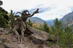 rotar den tilltrasslade treen Royaltyfri Foto