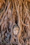 Rotar head bevuxet för Buddha med trädet, Ayutthaya, Thailand royaltyfri bild