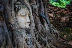 Rotar head bevuxet för Buddha med trädet, Wat mahathat Ayutthaya, T Arkivbilder