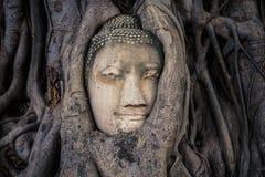 Rotar head bevuxet för Buddha med trädet, Wat mahathat Ayutthaya, T Royaltyfria Bilder