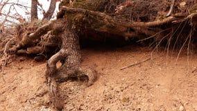 Rotar i torr jord för natur Arkivfoto