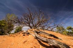 Rotar länge leder till ett gnarly träd i öknen Arkivbilder