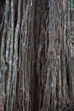 Rotar länge på gammalt träd i Bali Indonesien Royaltyfri Bild