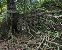 Rotar länge på gammalt träd i Bali Indonesien Royaltyfri Foto