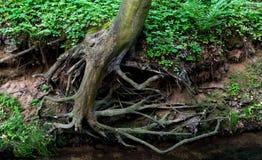 rotar treen Det verkliga fotoet av trädet rotar Royaltyfri Foto