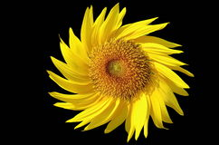 Rotated sunflower on black background - poster Royalty Free Stock Image