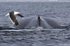 Rotatie en het gebochelde van de vinwalvis waarover vliegmeeuw Royalty-vrije Stock Afbeelding