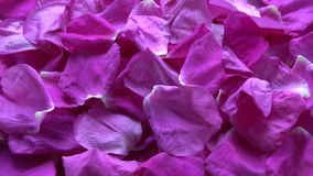 Rotating beautiful fresh wild rose brier petals background stock video footage