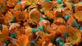 Rotating fresh medical herb calendula flowers background stock video footage