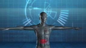 Rotating human figure with highlighted stomach Royalty Free Stock Image