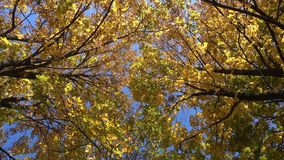 Rotating maple trees with falling leaves, high angle view stock video footage