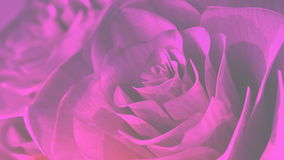 Rotating pink roses background theme - 3D render. seamless loop stock video