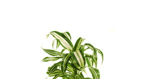 Rotating plant dracaena isolated on white background. stock footage