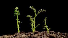 Chickpeas Seeds Germination on Black Background stock video footage